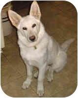 German Shepherd Dog Mix Dog for adoption in Avon, New York - Stella