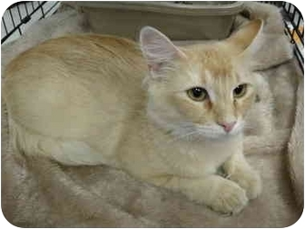 Domestic Shorthair Cat for adoption in Chesterfield, Missouri - April