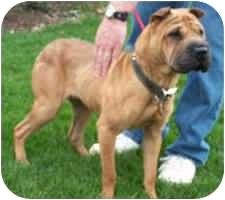 Shar Pei Dog for adoption in Genoa, Ohio - Sassy