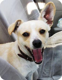 Corgi/Chihuahua Mix Dog for adoption in El Cajon, California - BUGSY