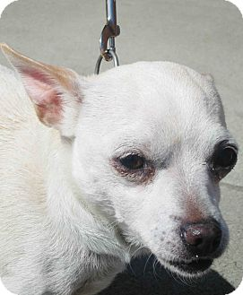 Chihuahua Mix Dog for adoption in Loudonville, New York - Sandy