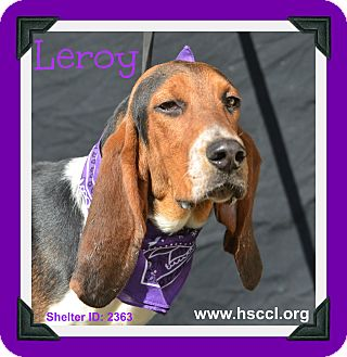 Treeing Walker Coonhound Dog for adoption in Plano, Texas - Leroy