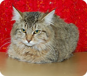 Maine Coon Cat for adoption in Bradenton, Florida - Tigress