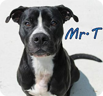 American Staffordshire Terrier Mix Dog for adoption in Lewisburg, West Virginia - Mr. T