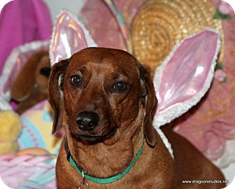 Dachshund Dog for adoption in Spokane, Washington - Buster, pending home