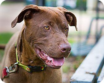 Chesapeake Bay Retriever Mix Dog for adoption in Bulverde, Texas - Champ