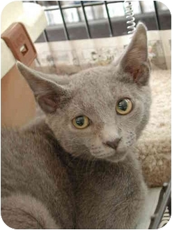 Russian Blue Kitten for adoption in Fort Lauderdale, Florida - Brody