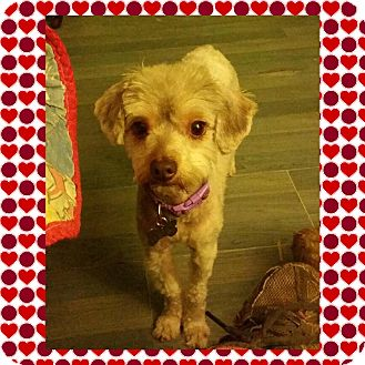 Terrier (Unknown Type, Small) Mix Dog for adoption in Arcadia, California - Peppermint