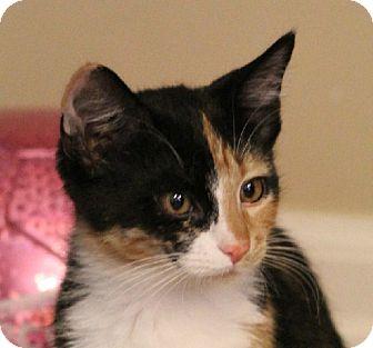 Domestic Shorthair Kitten for adoption in Midvale, Utah - Jeanette