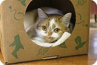 Domestic Shorthair Cat for adoption in Medina, Ohio - Thai