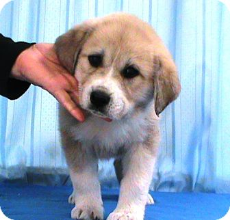Great Pyrenees/Labrador Retriever Mix Puppy for adoption in Maynardville, Tennessee - Alayna