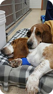 Basset Hound Dog for adoption in Boston, Massachusetts - Dolly