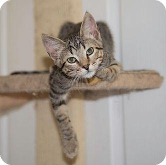 Domestic Shorthair Kitten for adoption in Schertz, Texas - Zebedee TG