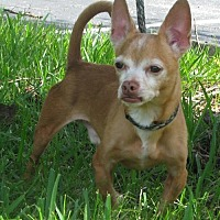 Chihuahua Dog for adoption in Sanford, Florida - Chico