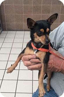 Miniature Pinscher Mix Dog for adoption in Palm Harbor, Florida - Stanley