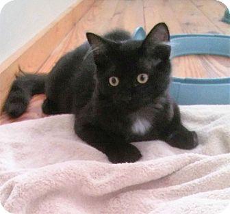 Domestic Mediumhair Cat for adoption in Tampa, Florida - Cody Bear