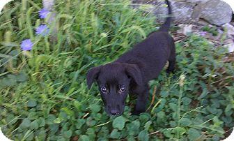 German Shepherd Dog/Labrador Retriever Mix Puppy for adoption in Clear Brook, Virginia - Molly