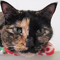 Domestic Shorthair Cat for adoption in Cumberland, Maine - Kate