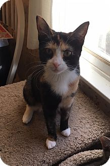 Calico Cat for adoption in Colmar, Pennsylvania - Lexie