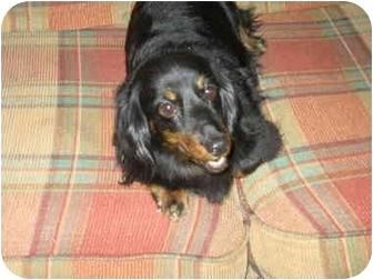 Dachshund/Dachshund Mix Dog for adoption in Center Moriches, New York - Luna