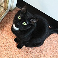 Domestic Shorthair Cat for adoption in Fremont, Ohio - Sammie