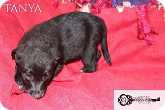 Collie/Shepherd (Unknown Type) Mix Puppy for adoption in DeForest, Wisconsin - Tanya
