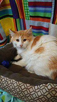 Domestic Longhair Cat for adoption in South Haven, Michigan - Aries