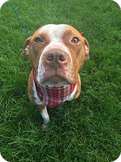 American Bulldog/American Staffordshire Terrier Mix Dog for adoption in Avon, Ohio - Captain