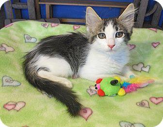 Maine Coon Kitten for adoption in Glendale, Arizona - Jaden