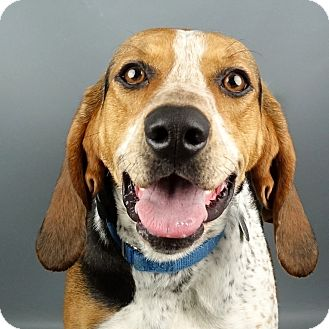 Treeing Walker Coonhound Mix Dog for adoption in Columbia, Illinois - Brandy