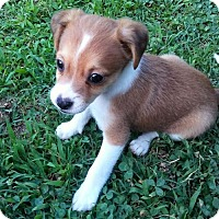 Chihuahua/Jack Russell Terrier Mix Puppy for adoption in Arlington, Virginia - Silas