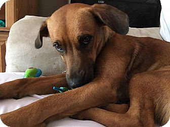 Hound (Unknown Type) Mix Dog for adoption in East Hartford, Connecticut - Sophia meet me 6/30