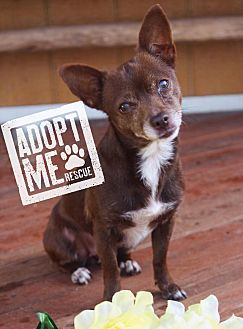 Chihuahua Dog for adoption in Fort Valley, Georgia - Panda