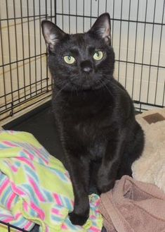 Domestic Mediumhair/Domestic Shorthair Mix Cat for adoption in Westville, Indiana - Biscuit
