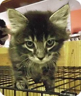 Domestic Longhair Kitten for adoption in Alturas, California - Midnight the Tabby Girl Kitten