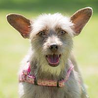 Adopt A Pet :: Sandy - Irvine, CA