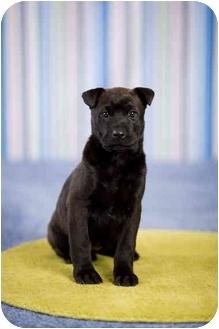 Labrador Retriever Mix Puppy for adoption in Portland, Oregon - Penny