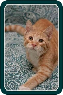Domestic Shorthair Cat for adoption in Sterling Heights, Michigan - Sawyer - ADOPTED!
