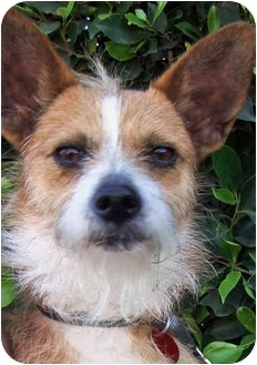 Terrier (Unknown Type, Small) Mix Dog for adoption in Los Angeles, California - MICKEY MOUSE