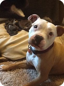 American Bulldog Mix Dog for adoption in Cary, Illinois - Molly