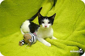 Domestic Shorthair Kitten for adoption in Rochester Hills, Michigan - Sansa