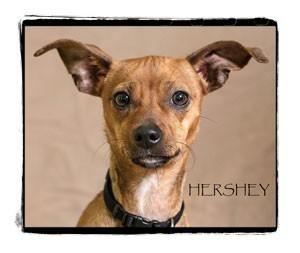 Chihuahua Puppy for adoption in Warren, Pennsylvania - Hershey