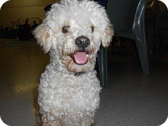 Poodle (Miniature) Mix Dog for adoption in Lockhart, Texas - Jake