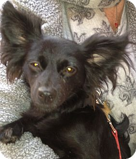 Papillon Dog for adoption in Thousand Oaks, California - Mickey