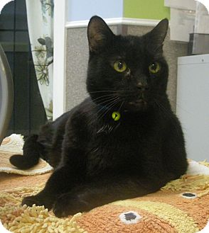 Domestic Shorthair Cat for adoption in Virginia Beach, Virginia - Moe