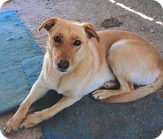 Labrador Retriever Mix Dog for adoption in YERINGTON, Nevada - Ghost