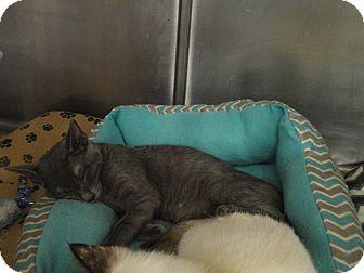 Domestic Shorthair Cat for adoption in Columbus, Georgia - Cody