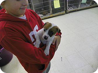 Pointer Mix Puppy for adoption in Waldorf, Maryland - Angel