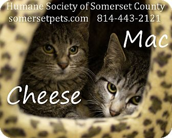 Domestic Shorthair Kitten for adoption in Somerset, Pennsylvania - Mac-Cheese