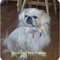 Adopt A Pet :: Cruiser - Columbia Falls, MT